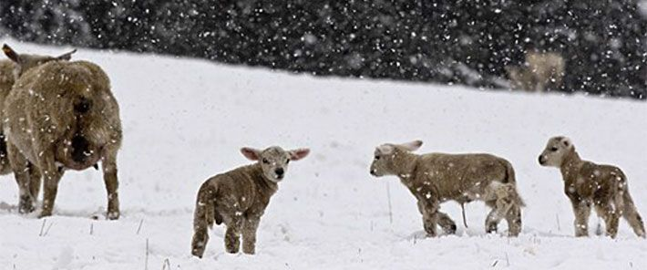 sheep-in-snow.jpg