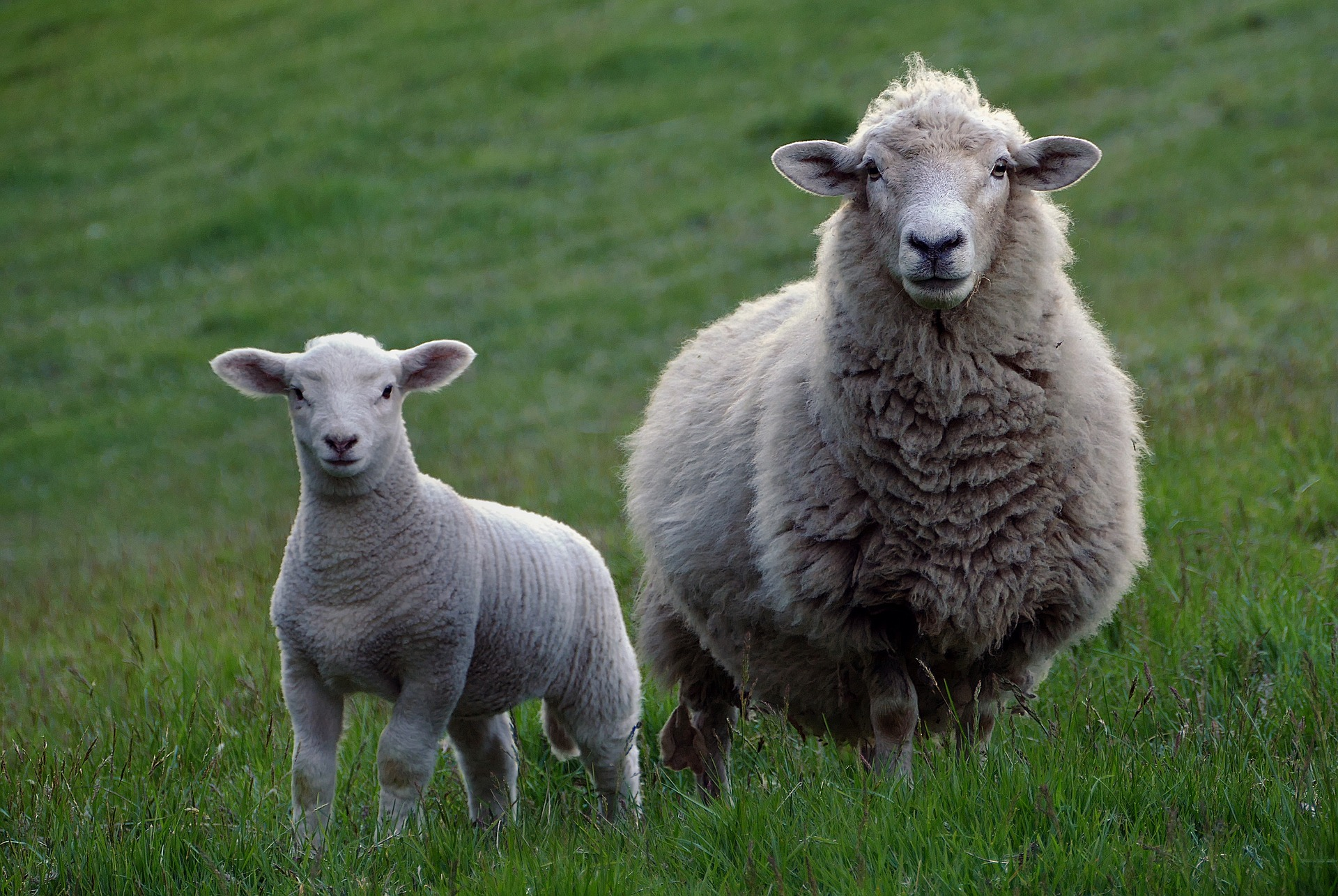 ewe_and_lamb_in_a_field.jpg