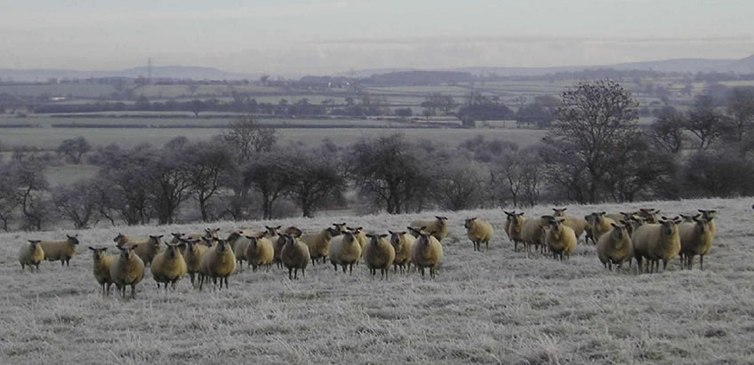 Harpers Sheep feed for the winter season